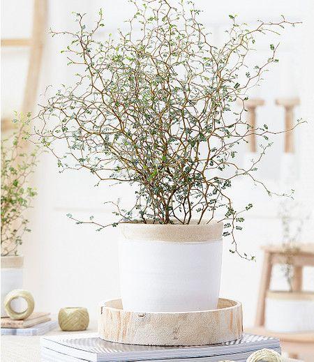 Maori Sophora Cotoneaster Little Baby1 Pflanze Im Mein Schöner