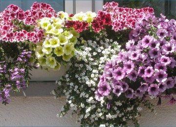 Balkonkästen Bepflanzen Ideen  Blumenkasten Bepflanzen Ideen