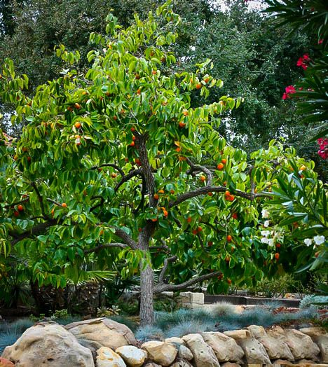 Japanese Persimmon Tree Diospyros Kaki Zone 8 H5 8 S5 8 Persimmon Persimmon Fruit Tree Fruit Trees