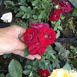 Kebun Bunga Mawar Malang