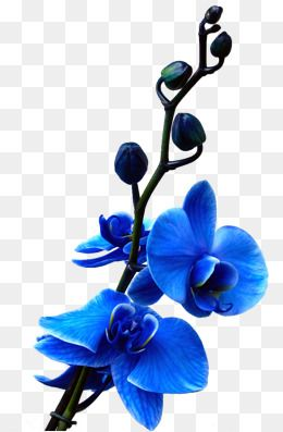 Blue Orchid Flower Isolated On White Background Affiliate Flower Orchid Blue Background White Ad Blue Orchid Flower Orchid Flower Blue Orchids