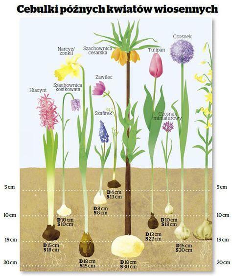 Znalezione Obrazy Dla Zapytania Jak Gleboko Sadzic Cebulki Planting Hydrangeas Magical Garden Flower Garden