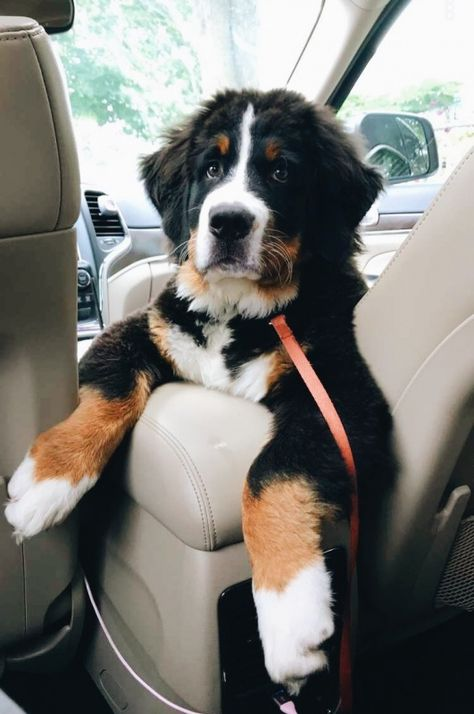 Latest Pictures Bernese Mountain Dogs and baby Ideas Being a working breed the Bernese Mountain dog is relatively high energy and require at the least 30 Cute Dogs And Puppies, I Love Dogs, Adorable Puppies, Small Puppies, Baby Dogs, Small Dogs, Animals And Pets, Funny Animals, Cute Little Animals