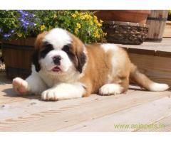 Coastal Dog Collars Waterproof St Bernard Puppy Puppies For