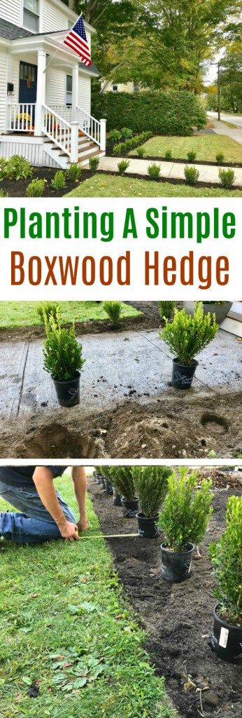 Gardening In New England Planting A Simple Boxwood Hedge One Hundred Dollars A Month Boxwood Landscaping Hedges Landscaping Boxwood Hedge