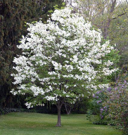 104 best flowering trees images on pinterest flowering trees 104 best flowering trees images on pinterest flowering trees nature and garden ideas mightylinksfo
