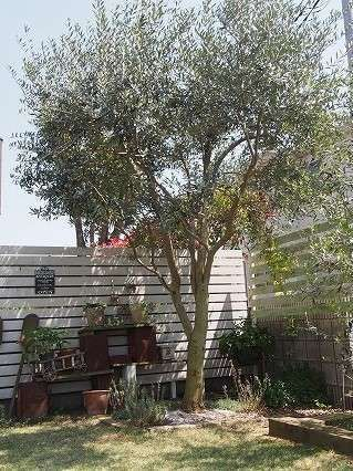 の 木 剪定 オリーブ
