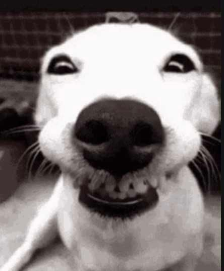 smiling dog - look into the camera #smilingdogs #happydogs #funnydogs #smilingdogphotos #smilinganimals