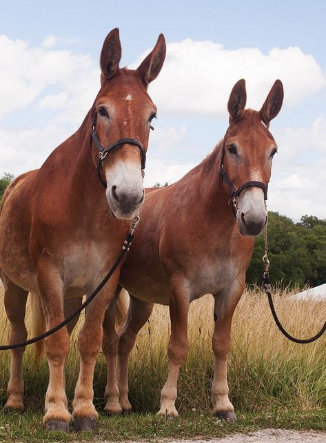 Nicely matched team of Belgian Draft Mule's Farm Animals, Animals And Pets, Cute Animals, All The Pretty Horses, Beautiful Horses, Reptiles, Mammals, Draft Mule, Mules Animal
