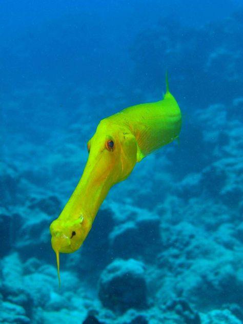Trumpet fish, red sea