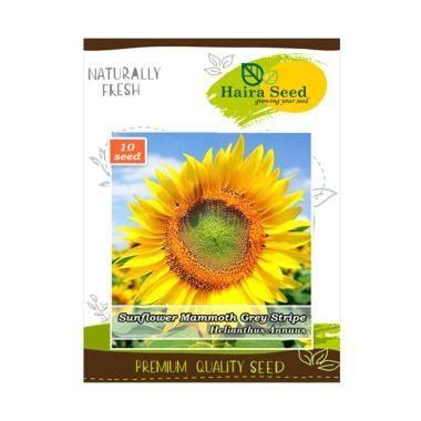 Gambar Bunga Matahari Dari Biji Bijian Haira Seed Bunga Matahari Mammoth Grey Stripe Bibit Tanaman Bunga Menggambar Bunga Matahari Gambar Bunga Biji Bijian