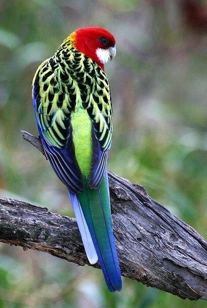 Pin By Kurdistan On Nature Australian Birds Beautiful Birds Australian Parrots