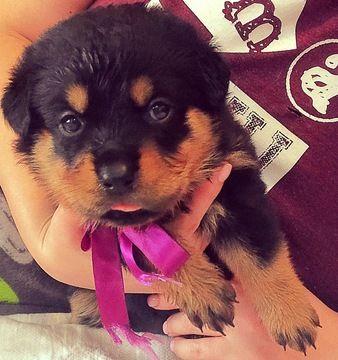 Rottweiler Puppy For Sale In Garland Tx Adn 65398 On Puppyfinder
