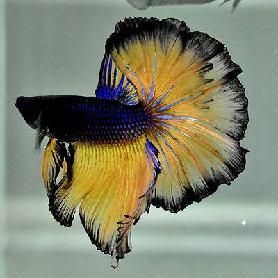 Live Betta Fish 034 Black Mustard Rose Tails Ohm Ot109 034 Male Rare Find Betta Fish Betta Fish