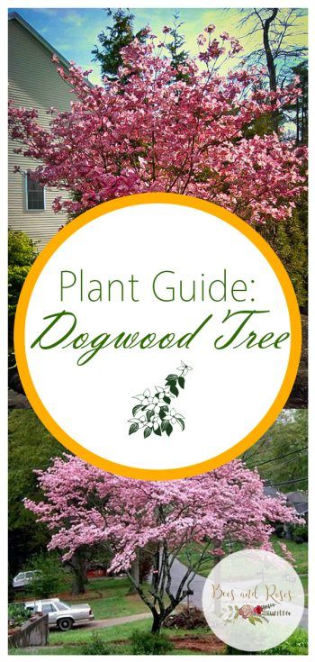 Plant Guide Dogwood Tree Dogwood Trees Tree Bees Landscaping