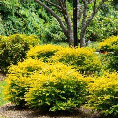 8 10 To 20 F Drought Tolerant Plants Garden Flowers Garden Center The Home Depot Shade Shrubs Yellow Shrubs Southern Living Plants