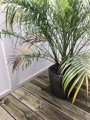 Palm Turning Yellow And Brown In 2020 Palm Tree Care Palm Tree Leaves Potted Palms