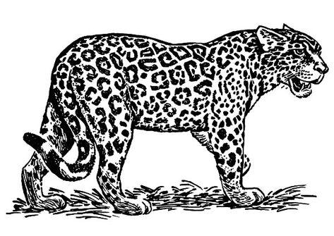 33 Jaguar Coloring Pages Ideas