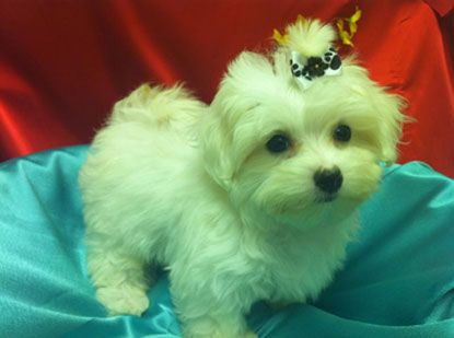 Come To Puppy City Puppies For Sale In Brooklyn New York