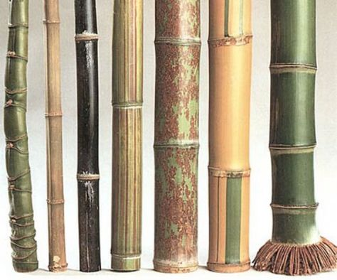 different species of bamboo  Phyllostachys aurea, Tetragonoclamus angulatus, Phyllostachys nigra f. punctuata, Phyllostaches bamb. violascens, Phyllostachys nigra f. 'Boryana',Phyllostachys viridis 'Sulphurea', Phyllostachys bambusoides. (Illustration Photo by Wetterwald M.F.)