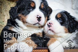 Puppies For Sale Purebred Berners From The Mountains