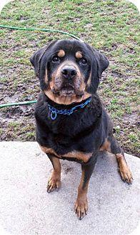 Rottweiler Mix Dog for adoption in Detroit, Michigan - Maverick-Meet me!