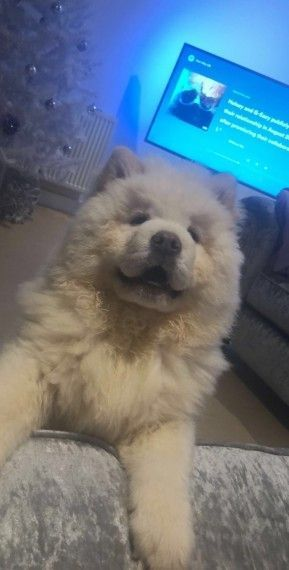 3 Month Old Chow Chow Puppy For Sale Rochdale Greater Manchester Pets4homes Chowchowpuppynearme C Chow Puppies For Sale Chow Chow Puppy Puppies For Sale