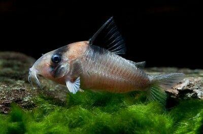 Corydoras Burgessi Rare Catfish Aquarium Fish For Sale Tropical Fish Aquarium Catfish For Sale