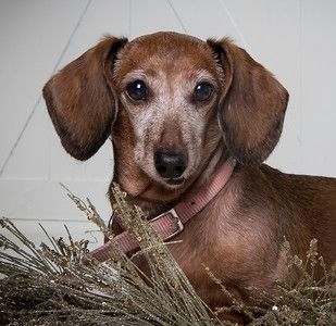 Adopt Penny4 On Petfinder In 2020 Dachshund Rescue Dachshund