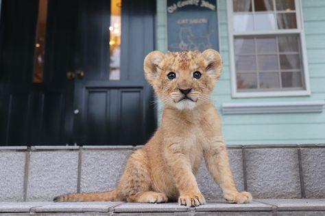 看板ライオンをしてくれてるのかな?✨ アフリカンサファリ