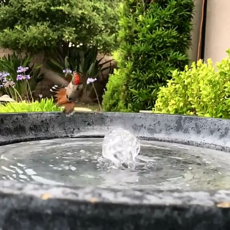 Bird bath water fountain ballet by Allen's hummingbird (hummingbird_journals @ instagram)
