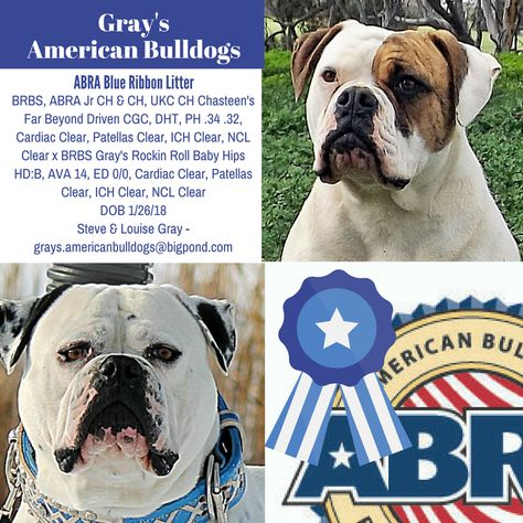 Pin By American Bulldog Registry Archives On American Bulldog