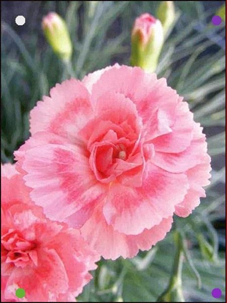 Product Viewer Dianthus Romance Pink Perennials Carnation Plants Carnations