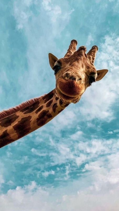 Vsco Repubvibez Images Cute Animals Cute Giraffe Wallpaper Iphone Cute