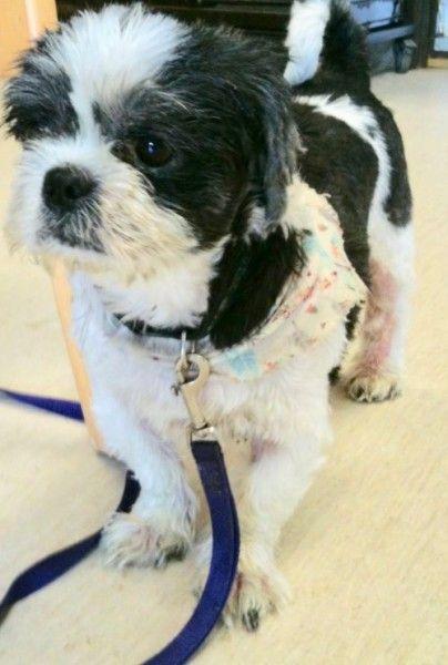 Shih Tzu Dog For Adoption In Gary Indiana Frankie In Gary Indiana Dog Adoption Shih Tzu Dog Shih Tzu