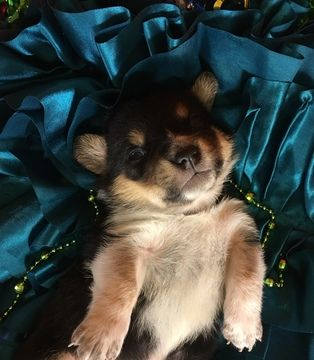 Litter Of 4 Cowboy Corgi Puppies For Sale In Bemidji Mn Adn 58800 On Puppyfinder Com Gender Male Age Cowboy Corgi Puppies For Sale Corgi Puppies For Sale