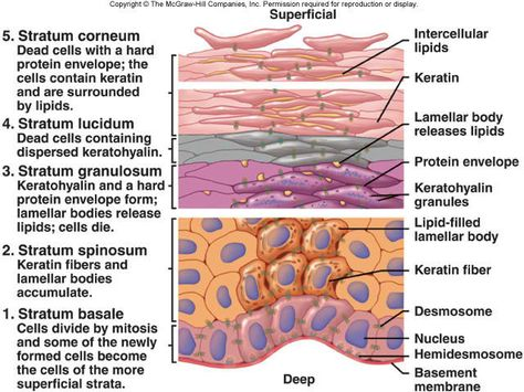principal tissues in the human body Working with human blood, tissue, body aware of the hazards of working with human blood, tissues and body fluids and the responsibility of the principal.