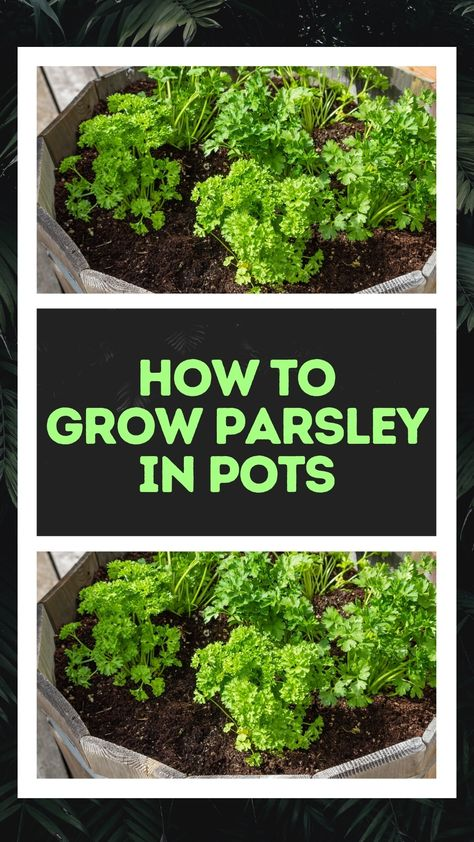 How to Grow Parsley in Pots