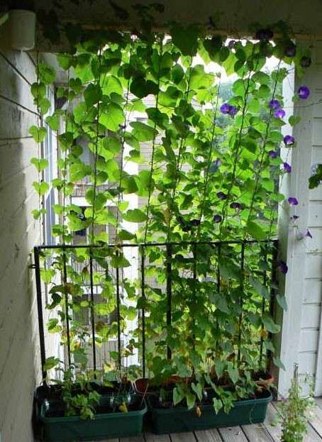 Ipomea Sul Balcone Giardino Fai Da Te Giardinaggio Sul Balcone Idee Giardino Patio