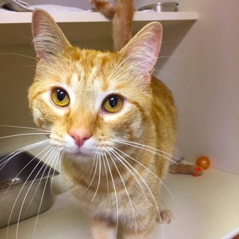 Totem Is A Gorgeous Ginger Cat Who Loves To Play And Cuddle He Is Super Friendly And Would Love To Meet You At Pet Valu On Country H Cat Adoption Cats