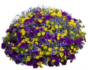Yellow Calibrachoa We Carry Callie Deep Yellow Petunia