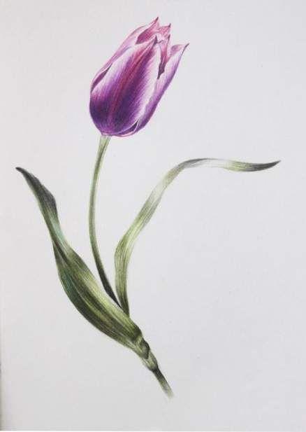 Flowers Sketch Tulip 63 Ideas Tulips Art Flower Sketches Tulip Painting