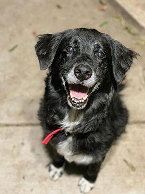 Prosper Tx Border Collie Meet Birdie A Pet For Adoption In 2020 Old Dogs Pet Adoption Border Collie