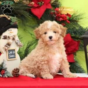 Maltipoo Puppies For Sale Maltipoo Breed Profile Maltipoo