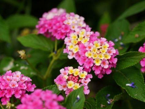 Wandelroschen Schneiden Und Vermehren Wandelroschen Mediterrane Pflanzen Kubelpflanzen