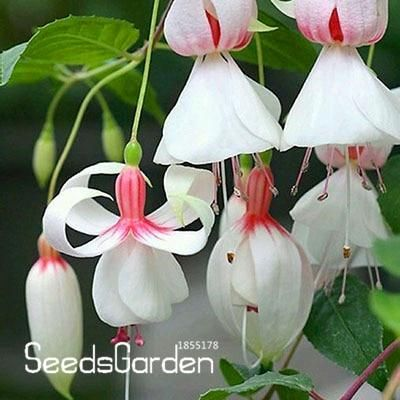 New Arrival Multicolor Pink Double Petals Fuchsia Bonsai Potted Flower Garden Plants Hanging Fuchsia Flowers 100 Pcs Bag F3xqf5 Products In 2019 Purple Bell Flowers Flower Seeds Fuchsia Flower