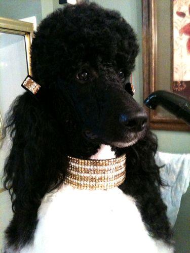 Molly Dog Collar Fancy Http Www Dogcollarfancy Com