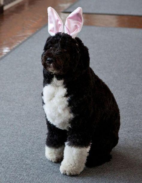 Bo Obama ,The Obama's dog!!!
