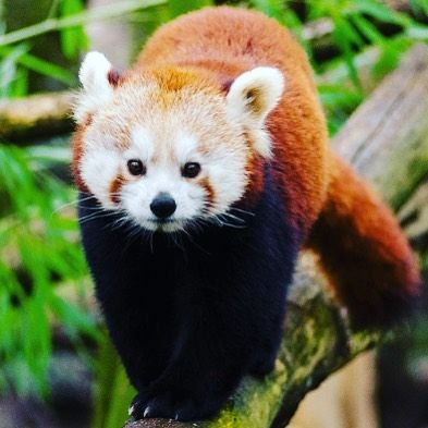 Red Pandas Or Aliurus Fulgens Is Sometimes Called The Lesser Panda Redpandascloset Redpandas Redpanda Redpandatattoo R Cute Animals Red Panda Panda Tattoo