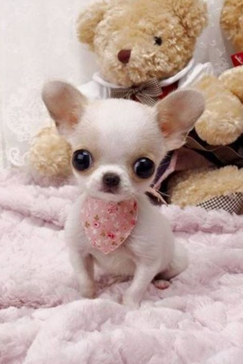Chihuahua Care - 5 Important Issues Every Owner Should Know - Dog Pets Zone Teacup Chihuahua Puppies, Miniature Dogs, Cute Dogs And Puppies, Baby Puppies, White Chihuahua, Teacup Dog Breeds, Teacup Pug, Teacup Pomeranian, Funny Dogs